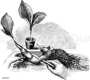 Canna: Vermehrung durch Zerschneiden des Wurzelstockes Zeichnung/Illustration