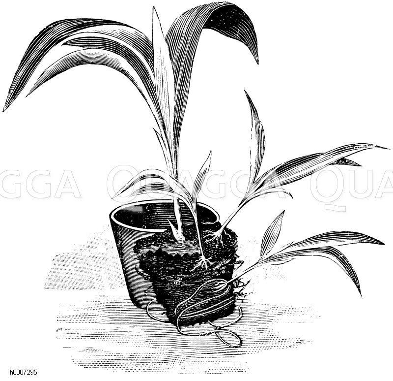 Ausgetopfter Lilienrüssel mit losgelösten Wurzelschößlingen Zeichnung/Illustration