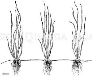 Ausläufer mit bewurzelten Pflänzlingen Zeichnung/Illustration