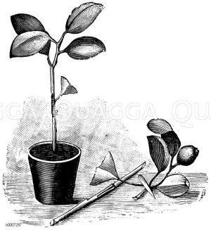 Veredeltes Orangenbäumchen Zeichnung/Illustration