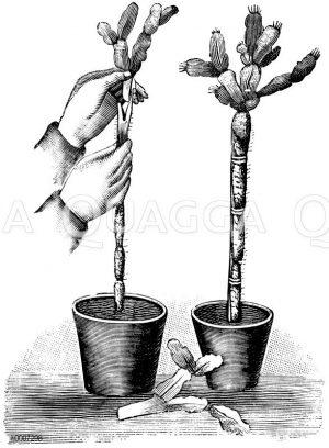 Blattkaktus. Darstellung der Veredelung. Veredelte Pflanze Zeichnung/Illustration