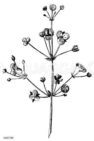 Alismataceae - Froschlöffelgewächse