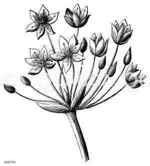 Doldenblühtige Wasserliesch Zeichnung/Illustration