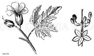 Stinkender Storchschnabel Zeichnung/Illustration