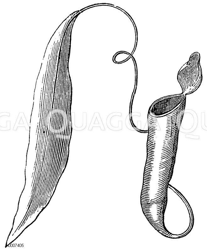 Kannenträger Zeichnung/Illustration