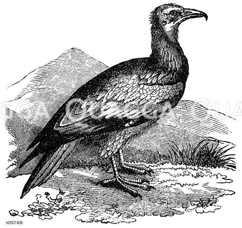 Ägyptischer Aasgeier Zeichnung/Illustration