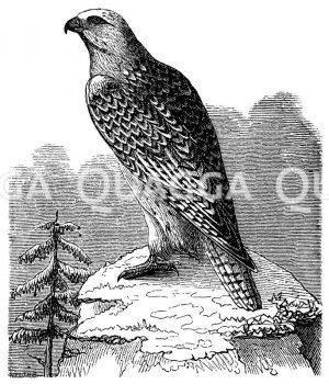 Jagdfalke Zeichnung/Illustration