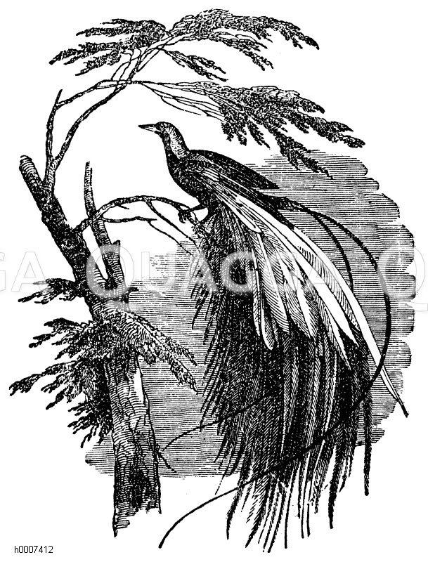 Paradiesvogel Zeichnung/Illustration