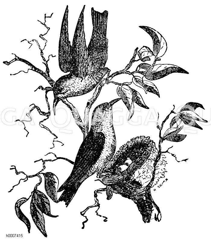 Kolibri Zeichnung/Illustration