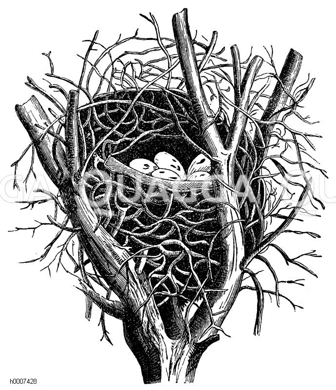 Elster: Nest Zeichnung/Illustration