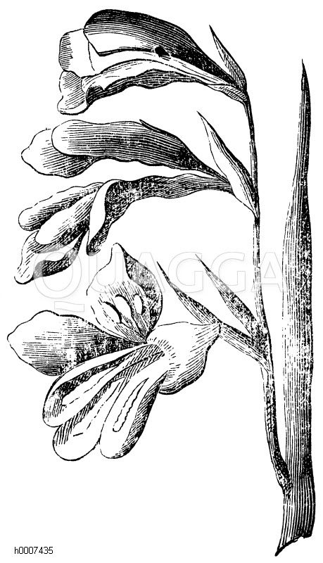 Siegwurz Zeichnung/Illustration