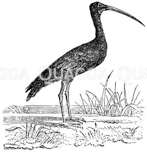 Heiliger Ibis Zeichnung/Illustration