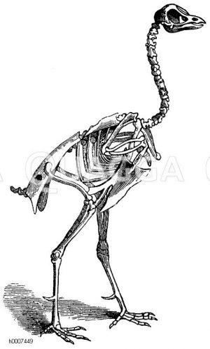 Haushahn: Skelett Zeichnung/Illustration
