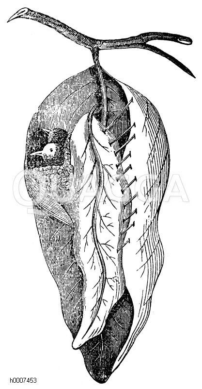 Schneidervogel: Nest Zeichnung/Illustration