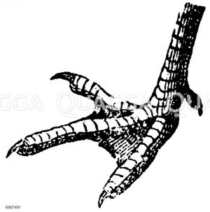 Haushuhn: Fuß Zeichnung/Illustration