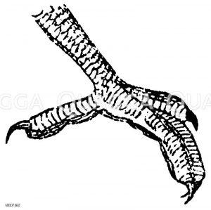 Eisvogel: Fuß Zeichnung/Illustration
