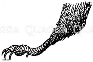 Mauerschwalbe: Fuß Zeichnung/Illustration