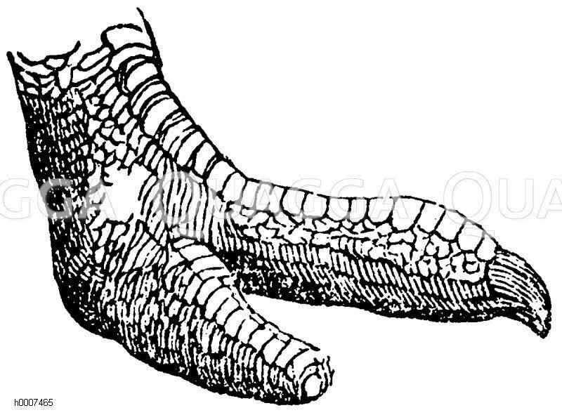 Afrikanischer Strauß: Fuß Zeichnung/Illustration