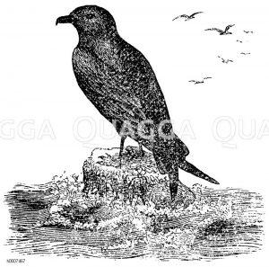 Sturmvogel Zeichnung/Illustration