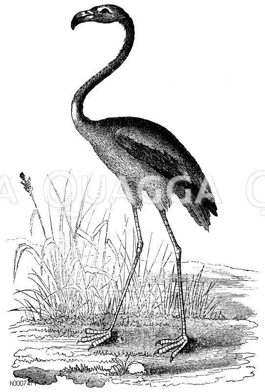 Roter Flamingo Zeichnung/Illustration