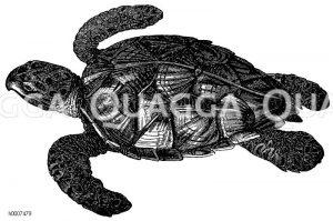 Karettschildkröte Zeichnung/Illustration