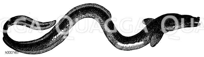 Europäischer Aal Zeichnung/Illustration