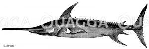 Schwertfisch Zeichnung/Illustration