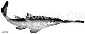 Sägefisch Zeichnung/Illustration