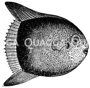 Mondfisch Zeichnung/Illustration