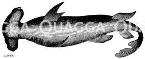 Hammerfisch Zeichnung/Illustration
