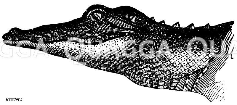 Alligator: Kopf Zeichnung/Illustration