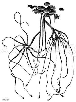 Grüner Armpolyp Zeichnung/Illustration