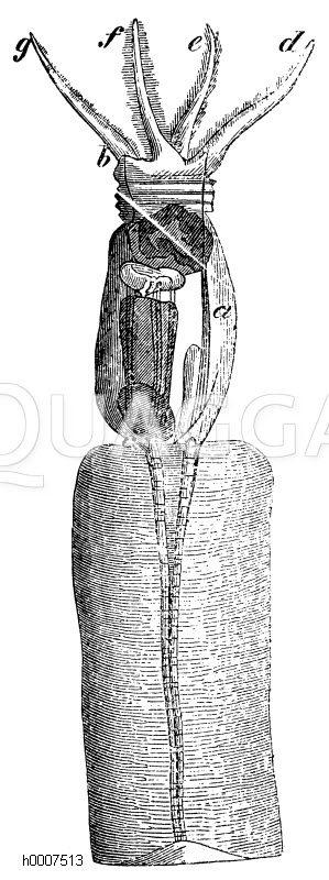Kronenrädchen Zeichnung/Illustration