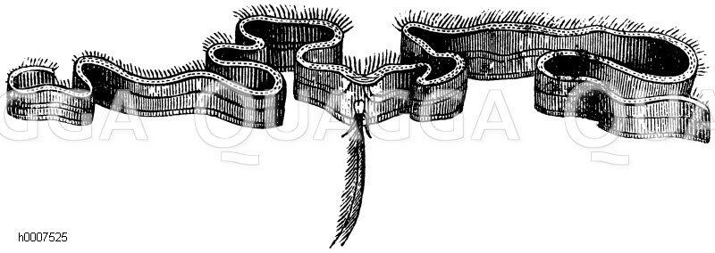 Gürtelqualle