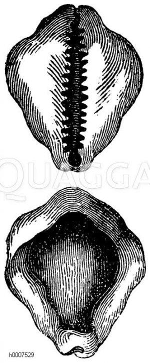 Otternköpfchen Zeichnung/Illustration