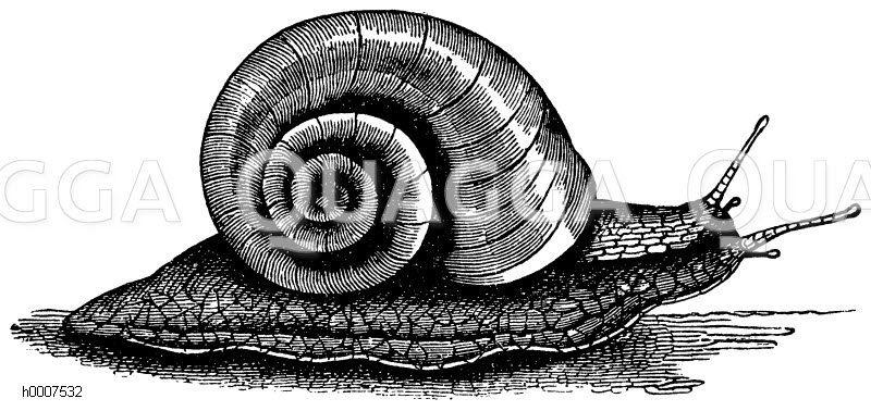 Weinbergschnecke Zeichnung/Illustration