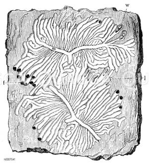 Eschenbastkäfer: Gänge Zeichnung/Illustration