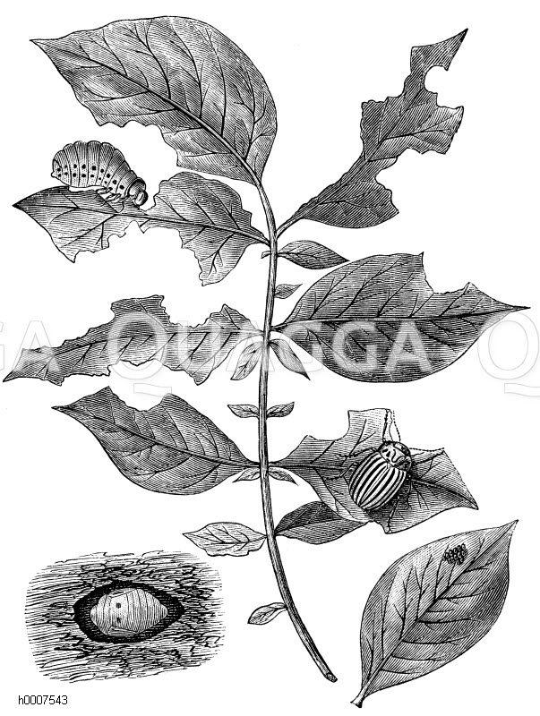 Kartoffelkäfer und seine Entwicklungsstadien Zeichnung/Illustration