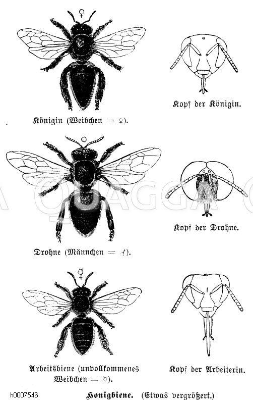 Honigbiene: Königin