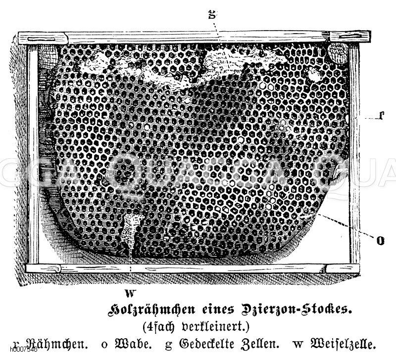 Honigbiene: Bienenwabe