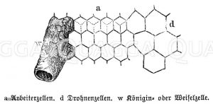 Honigbiene: Wabe Zeichnung/Illustration