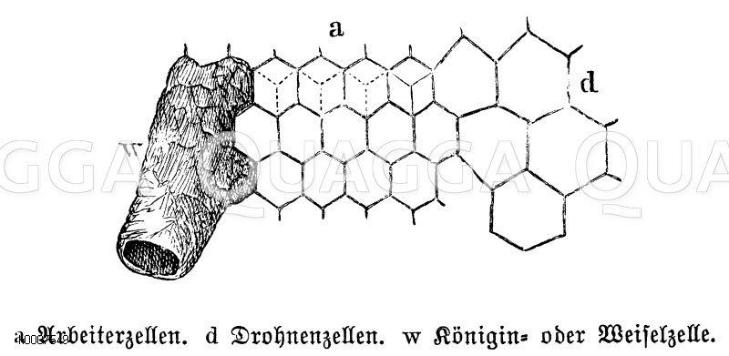 Honigbiene: Wabe Zeichnung/Illustration