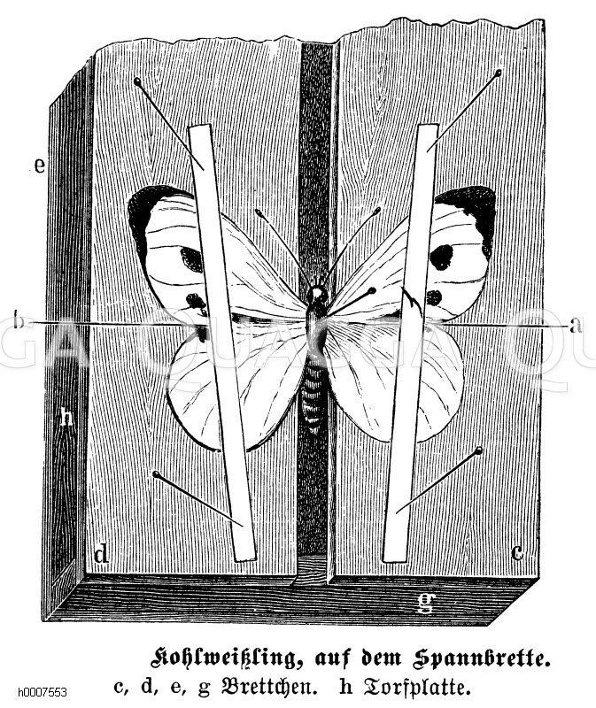 Kohlweißling: Präparat auf dem Spannbrett Zeichnung/Illustration