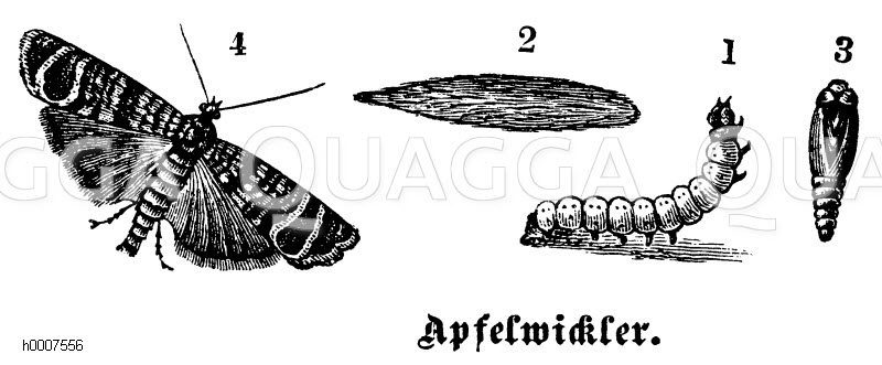 Apfelwickler Zeichnung/Illustration