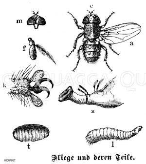 Fliege: Teile Zeichnung/Illustration