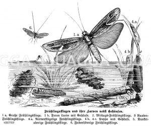 Frühlingsfliegen Zeichnung/Illustration