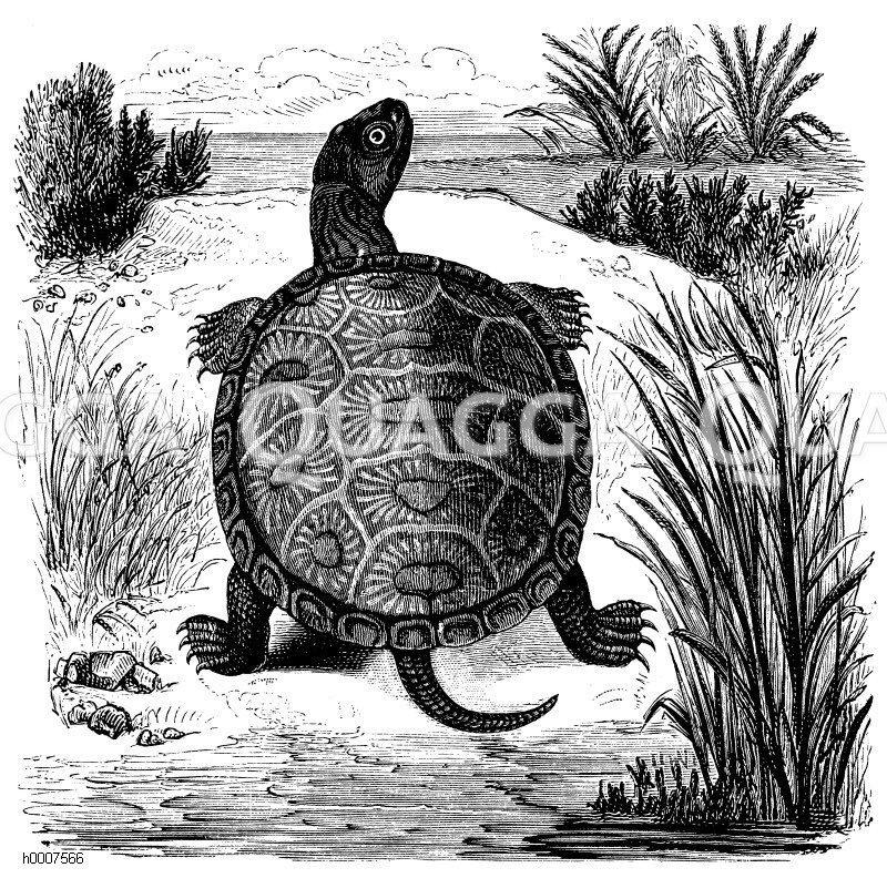 Sumpfschildkröte Zeichnung/Illustration