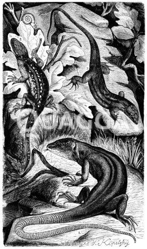 Flinke Eidechse Zeichnung/Illustration