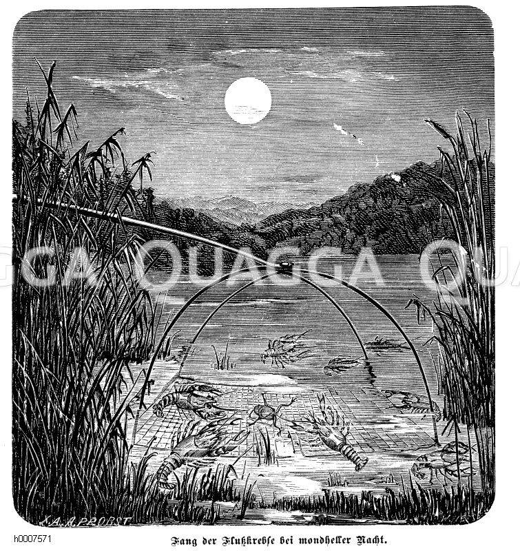 Flusskrebs: Fang von Flusskrebsen Zeichnung/Illustration
