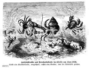Spitzfußkrabbe